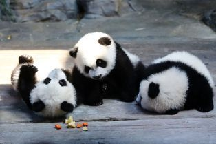 Les pandas triplés réunis avec leur mère