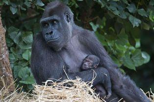 Première présentation pour le petit gorille