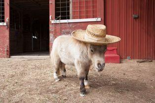 Shammy, le cheval miniature star du Net
