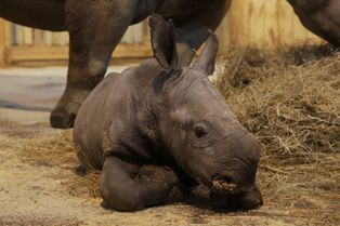 Shango, le petit rhinocéros d'Amnéville