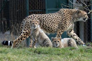 Sortie printanière pour les petits guépards