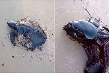 Des tortues prises au piège dans des galettes de pétrole : nouveau scandale au Brésil