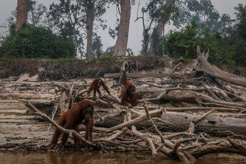 Sur l'île de Bornéo, les orangs-outans battent en retraite, délogés par les incendies