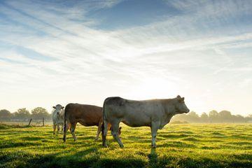 Trois vaches emportées par un l'ouragan Dorian retrouvées vivantes sur une île