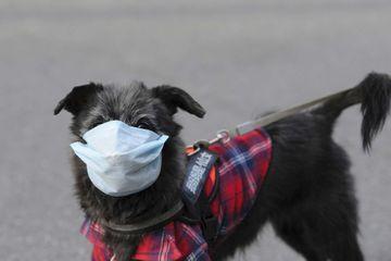 Coronavirus à Hong Kong : un chien contrôlé positif et placé en quarantaine
