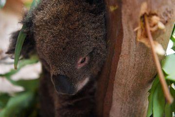 Incendies en Australie : Un petit garçon récolte plus de 170 000 dollars pour les koalas