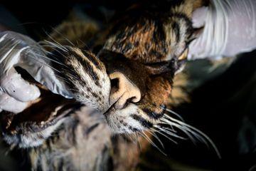 Un Indonésien arrêté en tentant de vendre la peau d'un tigre de Sumatra