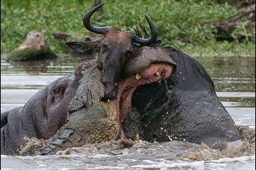 Bataille pour le repas entre l'hippopotame et le crocodile