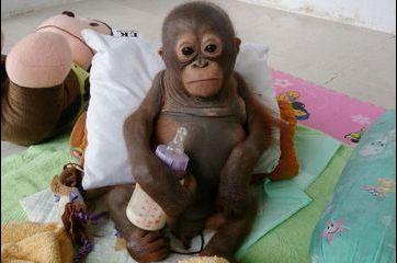 Budi, le petit orang-outan sauvé d'une mort certaine