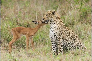 L'étrange amitié du léopard et de l'impala