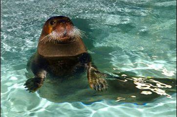 L'Océanopolis dévoile ses phoques à moustaches