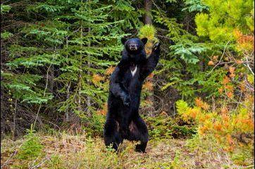 L'ours recréé la Fièvre du samedi soir