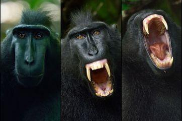 Le cri du macaque