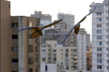 Les aras de Caracas