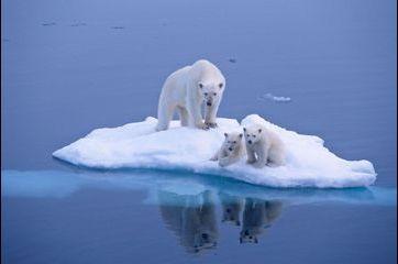Les ours polaires, espèce menacée