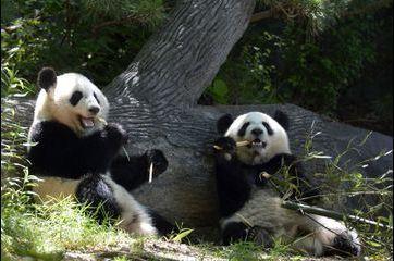 Les pandas jumeaux coulent des jours heureux