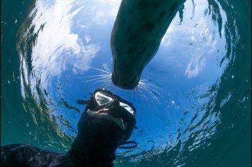 Tête à tête entre plongeur et phoque