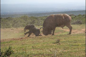 L'éléphanteau courageux... mais pas téméraire