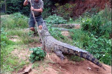 Le crocodile se rebiffe
