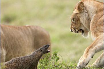 Quand une mangouste tient tête à un lion