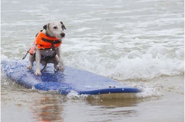 Les chiens surfeurs, des Landes à la Californie