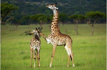 Câlin accidentel chez les girafes