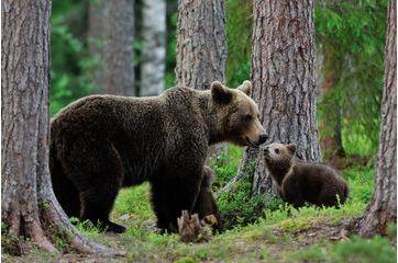 L'ourse protège ses petits d'un mâle à l'approche