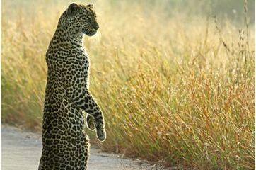Le léopard veille