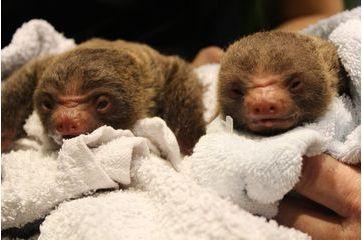 Les petits paresseux jumeaux de Stockholm