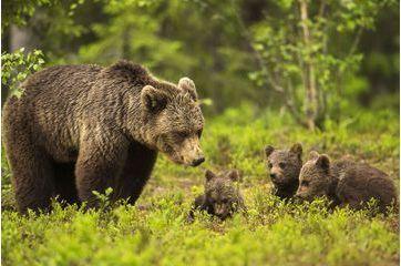 Scènes de vie chez les ours
