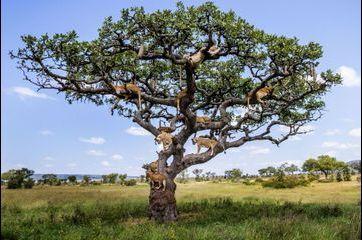 L'arbre aux lions