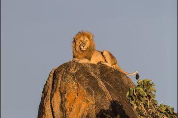 Le roi lion surveille son territoire