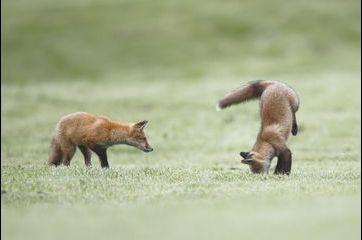 Partie de jeu pour les deux renardeaux