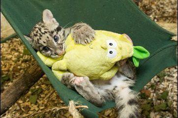 Nimbus, le petit léopard tacheté des Cotswolds