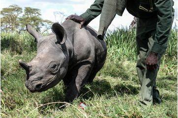 Au secours des rhinocéros orphelins