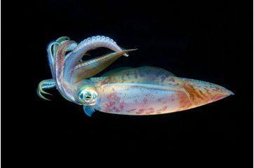 La beauté tentaculaire des calamars de la mer rouge