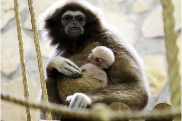 Naissance d'un petit gibbon