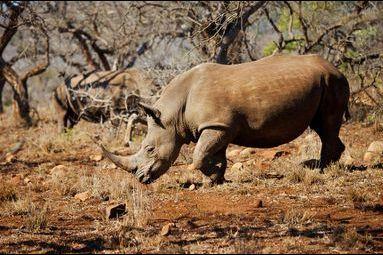 Opération Rhino