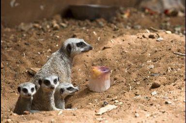 Gourmandises glacées pour animaux au chaud