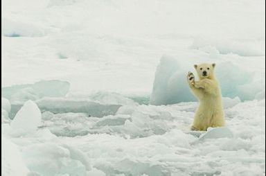 La danse de l'ours polaire
