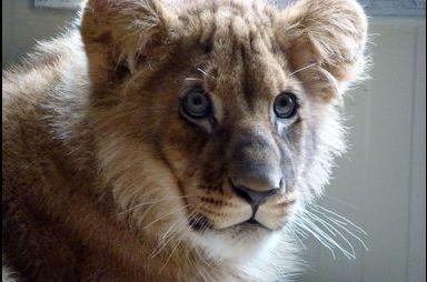 Le mystère des lionceaux abandonnés