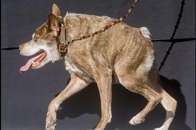"""Quasi Modo élu """"chien le plus laid du monde"""""""