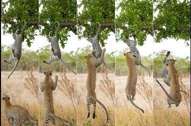 L'ado rebelle fait bondir maman guépard