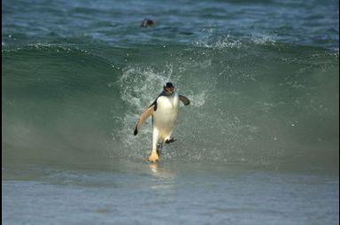 Les manchots surfeurs des îles Malouines