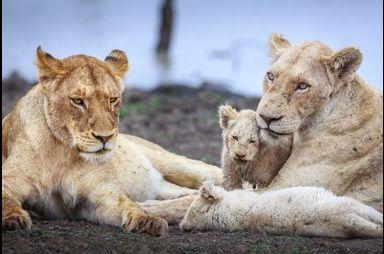 Moments en famille pour les lions blancs