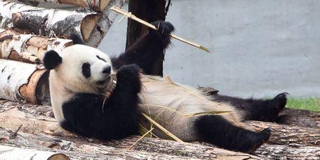 Le panda est prêt pour l'été