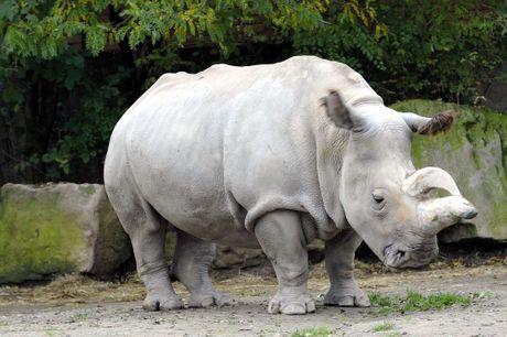 Il n'y a plus que quatre rhinocéros blancs du nord sur Terre