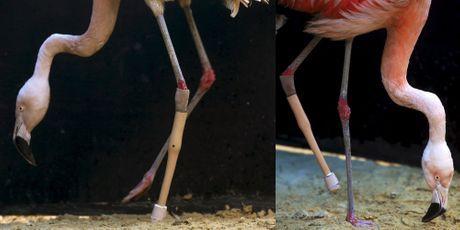 Blessé, le flamant rose reçoit une prothèse