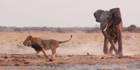 L'éléphant fait fuir les lions