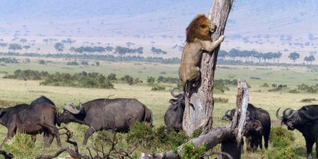 Le lion peureux se réfugie dans un arbre